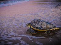 tortugas-en-rocha